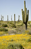 Desert Cactus, flowers and Sky. Spring in Arizona's Sonoran desert with Saguaro cactus and blooming yellow flowers Royalty Free Stock Photography