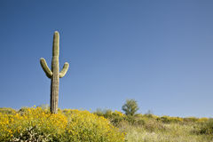 Desert Cactus, flowers and Sky Royalty Free Stock Images