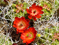 Desert Cactus Flowers. Up close view of multiple red with a hint of green cactus desert flowers surrounded by thorns protecting their beauty royalty free stock images