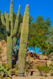 Desert cactus landscape in Arizona.  stock image