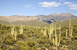 Desert Cactus and Mountains Stock Photography