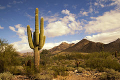 Desert cactus and mountains landscape. Desert cactus and small bushes by the McDowell Mountains hiking areas stock photo