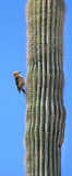 Desert cactus pecker Royalty Free Stock Photo
