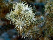 Desert cactus. Plant with needle like prickers Stock Photography