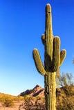 Desert Cactus Royalty Free Stock Photo