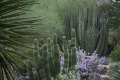Desert Cactus and Texas Ranger Sage Bush. Texas Ranger Sage Bush in bloom with cactus in background Stock Images