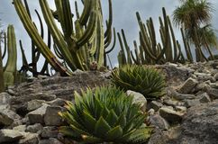 Cactuses grow between stones. Desert cactuses grow between stones Royalty Free Stock Photos