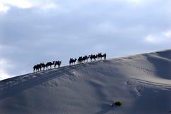 Desert camel. Walking in the desert of camel troops stock photography