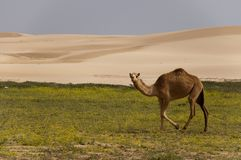 Desert with camel Royalty Free Stock Photography