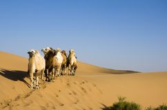 Desert Camel Royalty Free Stock Photo