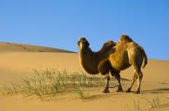 Desert camel Royalty Free Stock Photo