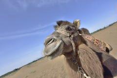 Desert camel close-up. Stock Photo