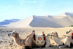 Desert and camel Royalty Free Stock Images