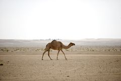 Desert camel Royalty Free Stock Image