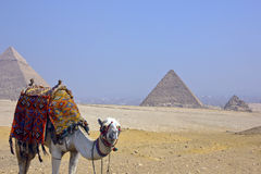 Desert camel and pyramids Stock Images
