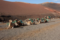 Desert camels Stock Image