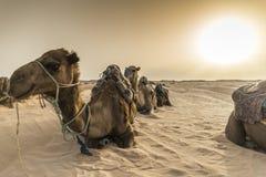 Desert of camels. Camel in the Sahara Desert, Tunis royalty free stock image