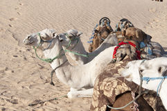 Desert camels Royalty Free Stock Photography