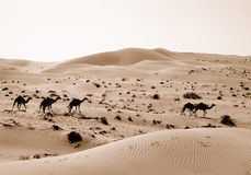 Desert camels in sand dunes Royalty Free Stock Photos