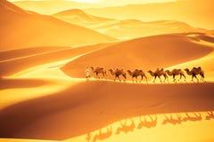 Desert camels team. Camels team march on the sand dunes, golden desert landscape in sunset stock photography