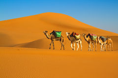Desert caravan. Camel caravan moving in Sahara desert in morning Stock Photos