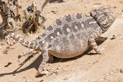 Desert chameleon Royalty Free Stock Photos