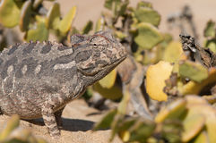 Desert chameleon. The Namibian desert chameleon,Chamaeleo namaquensis, is an unique member of the chameleon family. terrestrial, it survives in the hot and arid Stock Photo