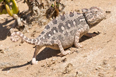 Desert chameleon. The desert chameleon, Chamaeleo namaquensis, is the only desert dwelling species in the chameleon family. It is also terrestial,because of a Stock Photography