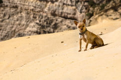 Desert chihuahua. Beware the dog! This staring chihuahua is the king of its dune Royalty Free Stock Photo