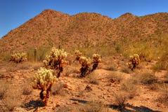 Desert Cholla Royalty Free Stock Photo