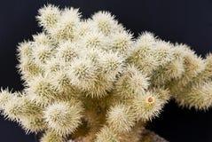 Desert Cholla Cactus Royalty Free Stock Image