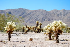 Desert and Cholla Trees Stock Image