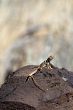 Desert Collared Lizard, Crotaphytus insularis Stock Image