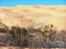Desert Colors. The golden sand dunes of southern California contrast against the clear blue sky and provide a handsome backdrop for the early spring desert Royalty Free Stock Photography