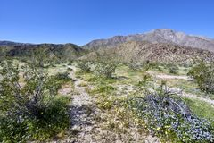 the desert comes alive with flowers and new growth Royalty Free Stock Photography