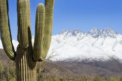 Desert Contrast. A saguaro cactus in the Arizona desert provides a stark contrast to the snow packed mountains in the distance stock photo