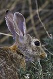 Desert Cottontail Portrait Stock Photography