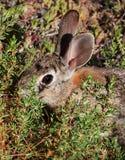 Desert cottontail rabbit in brush royalty free stock photos