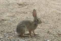 Desert Cottontail Royalty Free Stock Photography