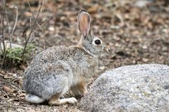 Desert Cottontail Rabbit, Lake Watson, Prescott Arizona USA stock photos