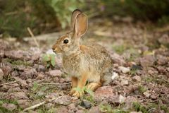 Desert Cottontail Rabbit Sylvilagus audubonii Royalty Free Stock Images