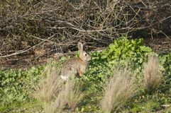 Desert Cottontail Rabbit Sylvilagus audubonii in the Meadow Stock Image