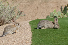 Desert Cottontail Rabbits Stock Photo