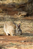 Desert Cottontail, Sylvilagus audubonii Royalty Free Stock Images
