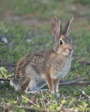 Desert Cottontail Rabbit Sylvilagus audubonii in the Meadow Stock Photo