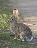Desert Cottontail Rabbit Sylvilagus audubonii in the Meadow Stock Image