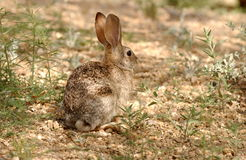 Desert Cottontail (Sylvilagus audubonii) royalty free stock photography