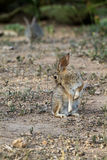 Desert Cottontail, Sylvilagus audubonii Royalty Free Stock Photos