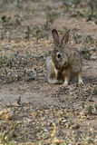 Desert Cottontail, Sylvilagus audubonii Stock Images