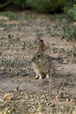 Desert Cottontail, Sylvilagus audubonii Royalty Free Stock Photo